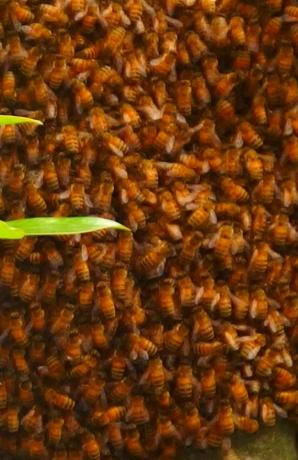 蜜蜂の分蜂 詳細