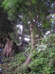 大きな木180728