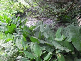 大きな水芭蕉の葉180728