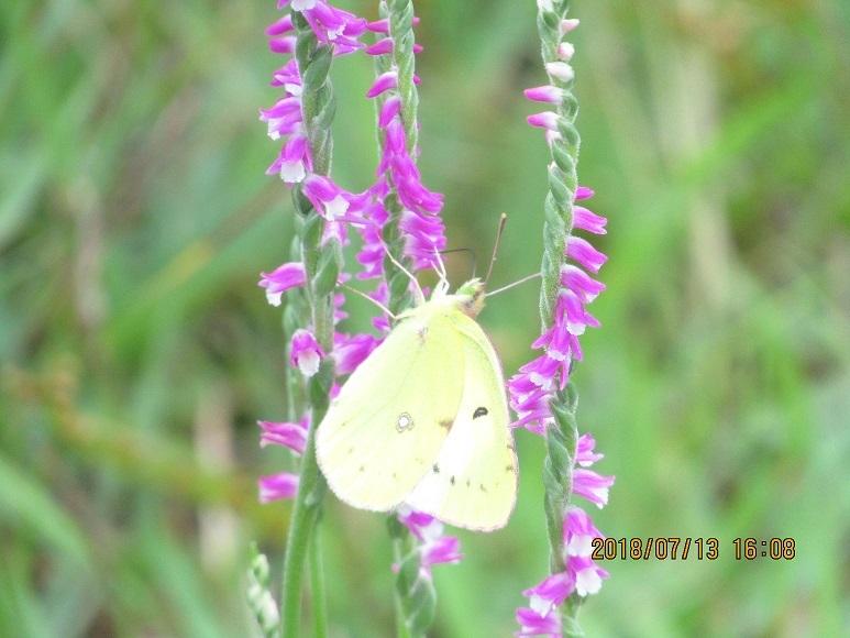 蝶とねじり草