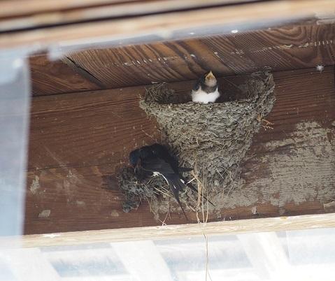 6月1日軒下の巣・違うツバメの巣作りと1羽のヒナpe