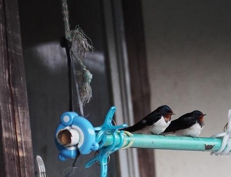 5月4日物干し竿の2羽のツバメpe