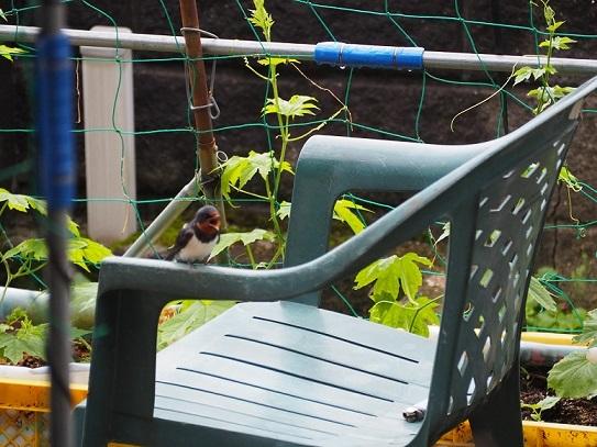 椅子の上のツバメ -pe