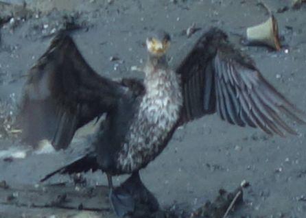 ウミウが羽を干していた