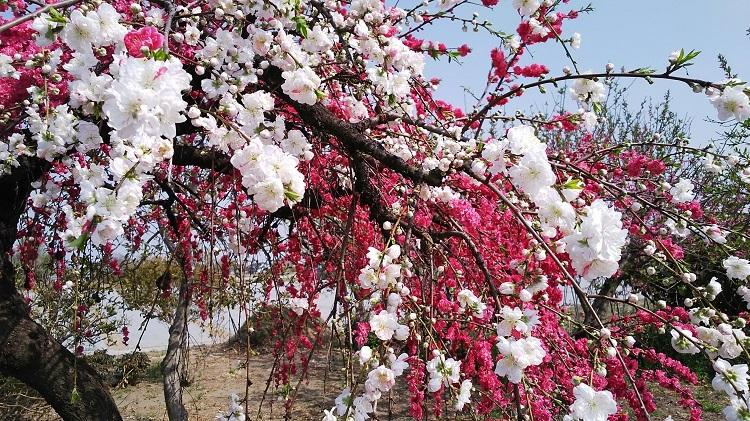 20180404桃の花