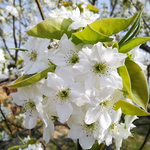 20180404梨の花