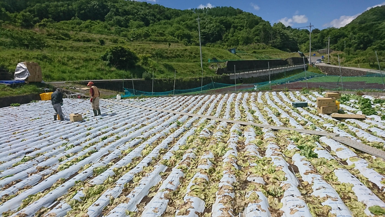 有井さん畑、レタス手伝い_180601_0062