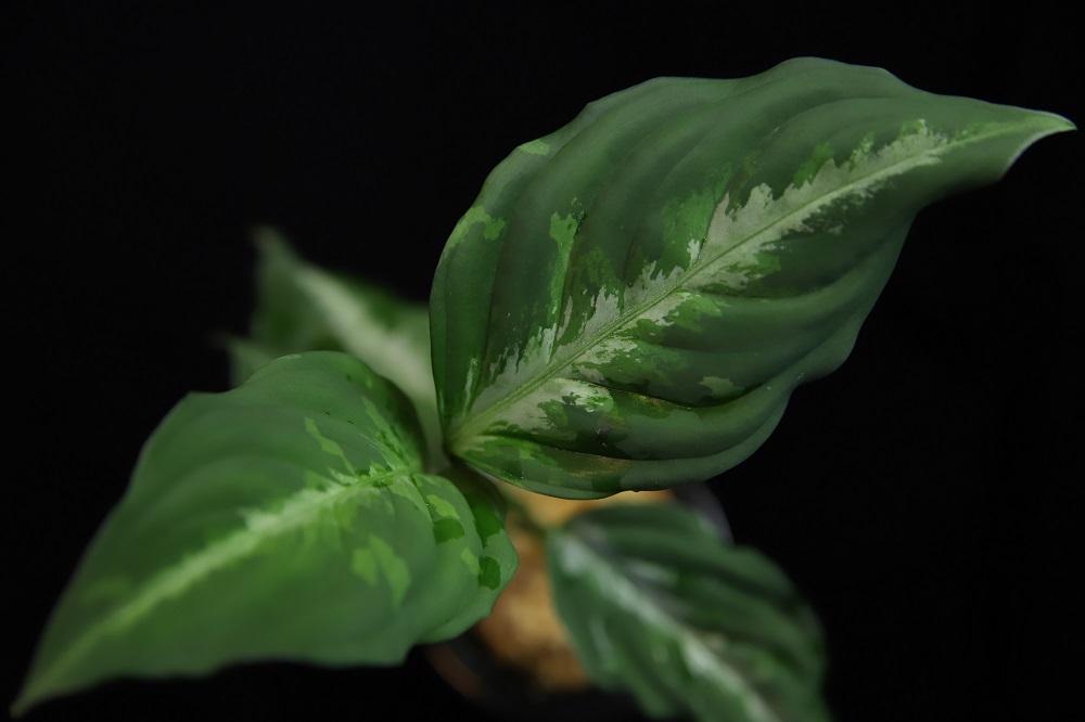 アグラオネマ ピクタム 北シボルガ[Aglaonema pictum North Sibolga]