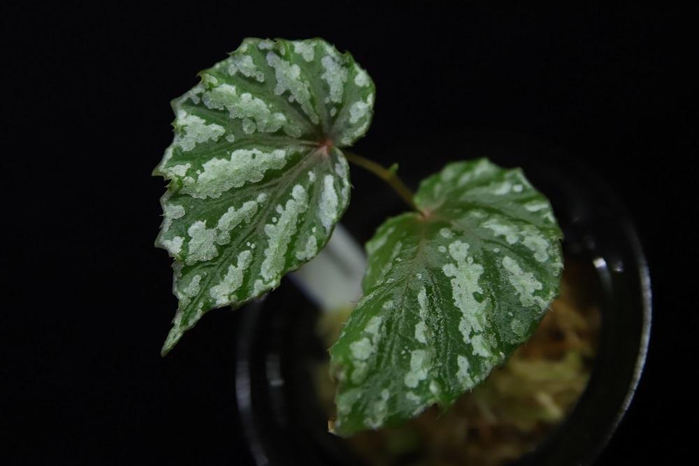 ベゴニア ペンリッセネンシス[Begonia penrissenensis]