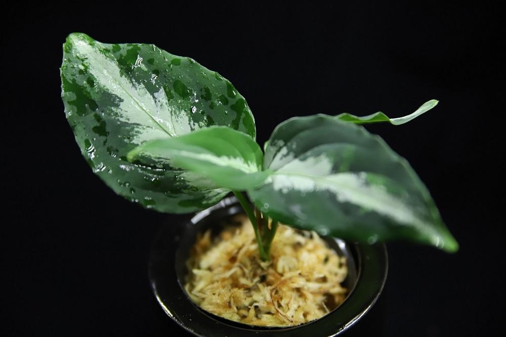 アグラオネマ ピクタム 北シボルガ[Aglaonema pictum North Sibolga]-01