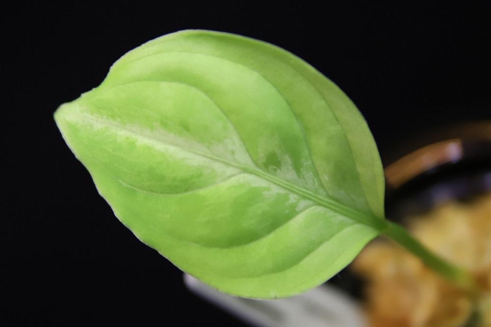 アグラオネマ ピクタム クワトロ[Aglaonema pictum quattro]
