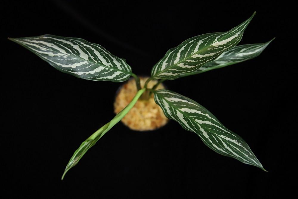 アグラオネマ ニチダム カーティシー[Aglaonema nitidum Curtisii] border=