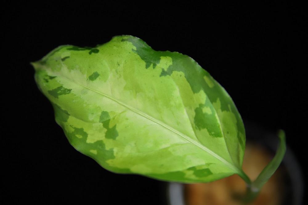 アグラオネマ ピクタム トリカラー エウレカもどき[Aglaonema pictum tricolor Eurekaもどき]AZ便