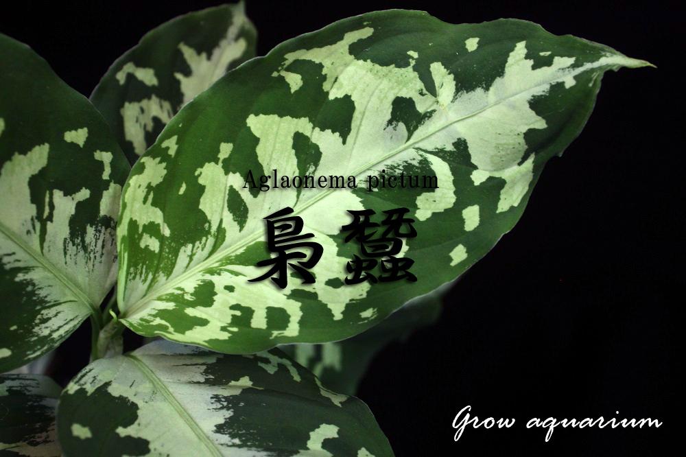 アグラオネマ ピクタム フクロガイコ[Aglaonema pictum 梟蠶]