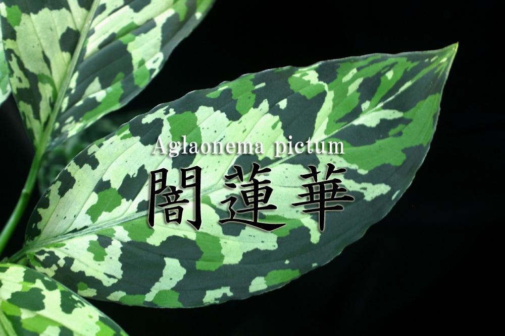 >アグラオネマ ピクタム ヤミレンゲ[ Aglaonema pictum 闇蓮華]