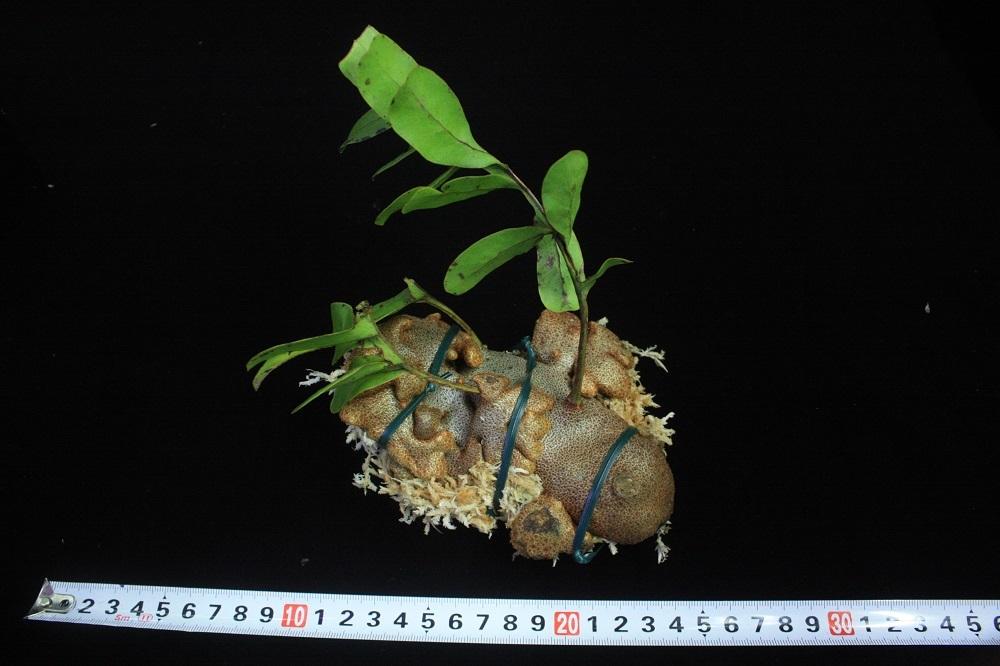 レカノプテリス クルスタセア[Lecanopteris crustacea](アリノスシダ・アリ植物)(アリノスシダ・アリ植物)