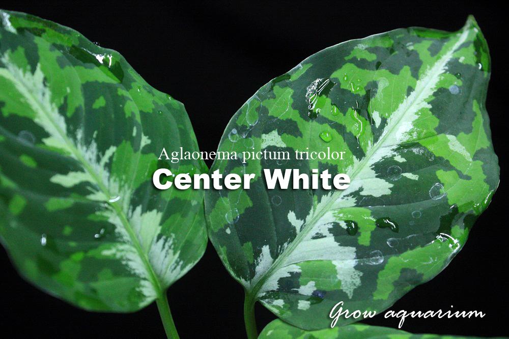 アグラオネマ ピクタム トリカラー センターホワイト[Aglaonema pictum tricolor Center White]