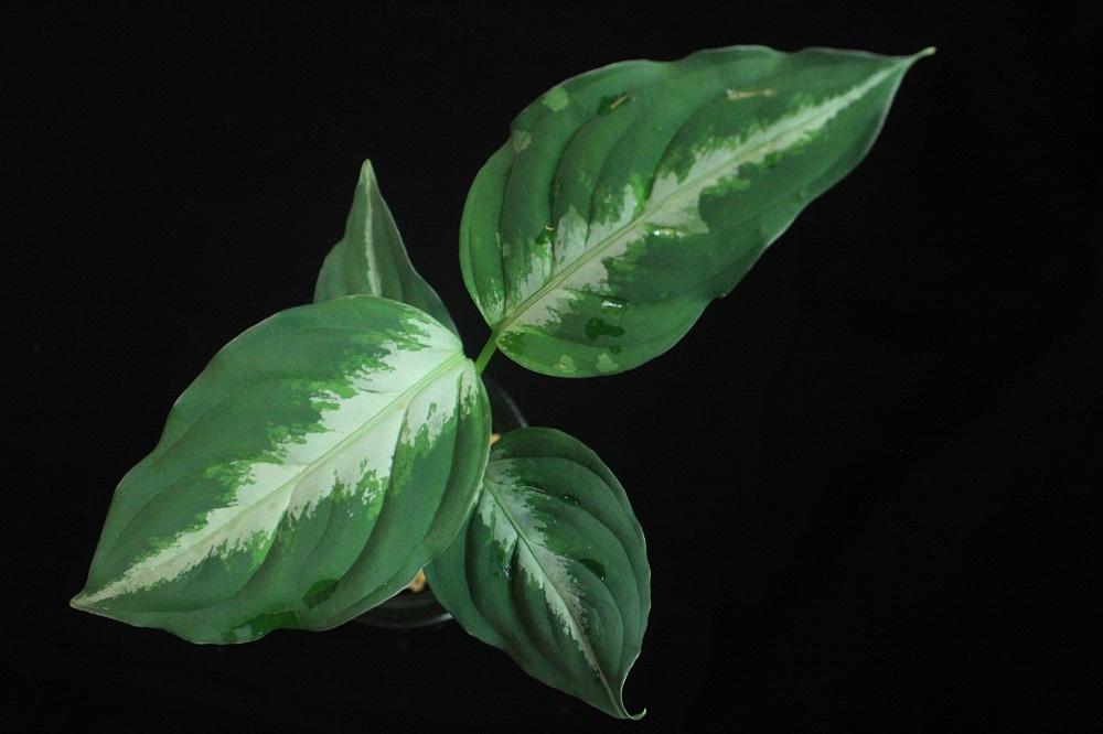 アグラオネマ ピクタム シボルガ[Aglaonema pictum Sibolga]