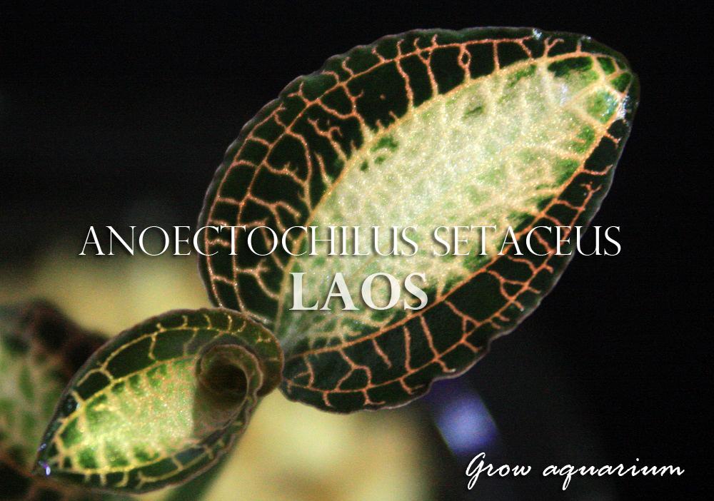 アネクトキルス セタケウス ラオス[Anoectochilus setaceus Laos]
