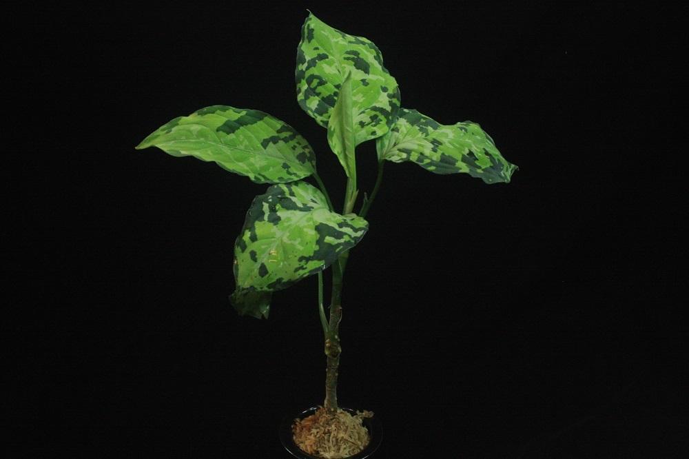 アグラオネマ ピクタム トリカラーライトカラー[Aglaonema pictum tricolor Light Color]