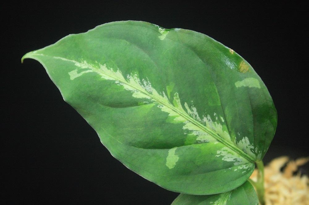 アグラオネマ ピクタム 北シボルガ[Aglaonema pictum North Sibolga]参考画像あり