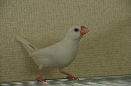 しっぽにシナモン色の羽が僅かに