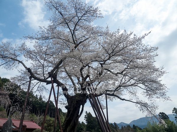 本郷の千年桜 D