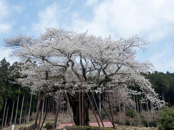 本郷の千年桜 A
