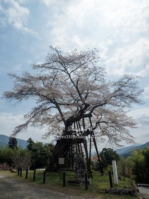 本郷の千年桜 B