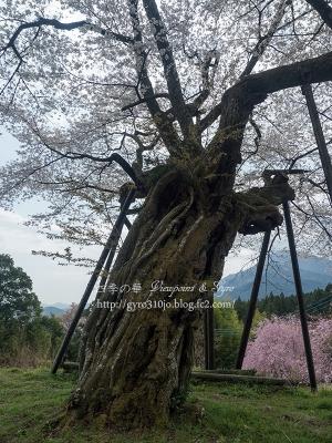 本郷の千年桜 C