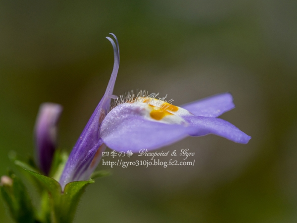 春の花 A