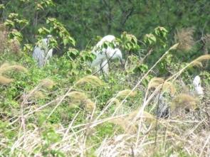 木に止まるアオサギ、ダイサギ夏羽