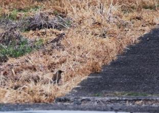 180423011 採餌中のツグミとシロハラ(鵲)