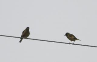 180423010 カワラヒワ(鵲)