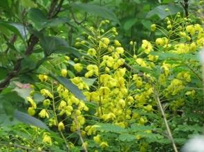180423033 鮮やか黄色の花 ジャケツイバラ