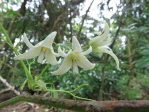 180423031 ムベの花(雄花)