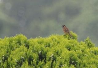 180531011囀るホオジロ(鵲)