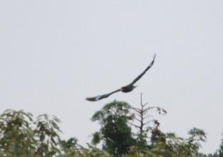 180531005飛び出し、林の奥へ(鵲)