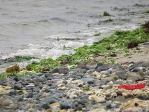 180531009海岸で見かけたコチドリ