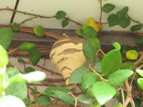 180531025コガタスズメバチの巣