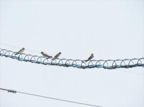 180610008ツバメの幼鳥