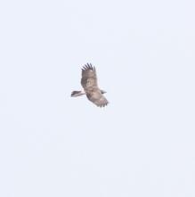 180612021背中を見せて飛翔中のハチクマ