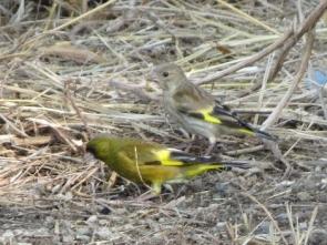 カワラヒワ成鳥と幼鳥