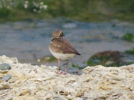 海岸のコチドリ1