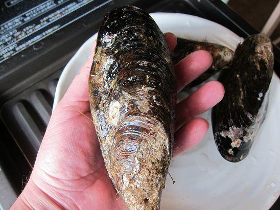 八戸産カラス貝