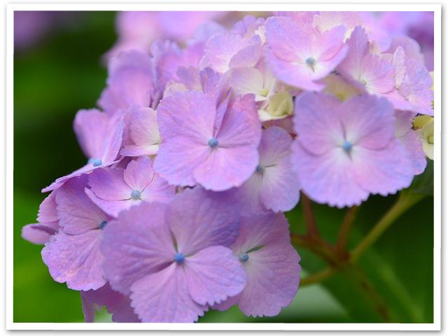 紫陽花☆小田原フラワーガーデン