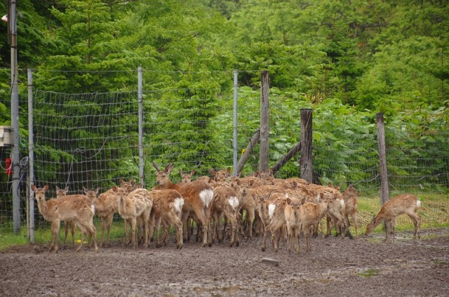 鹿の皆さん
