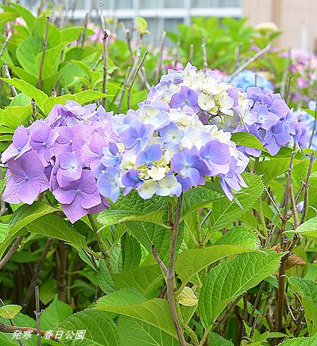 紫陽花ブログ用