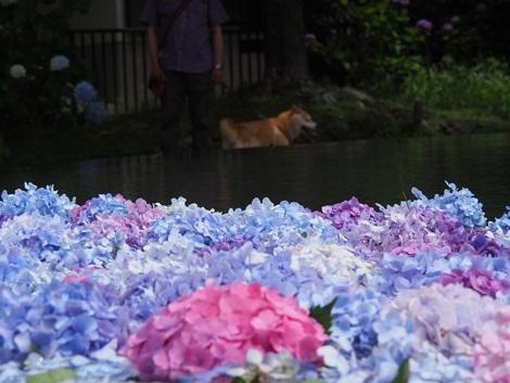 さくらと紫陽花
