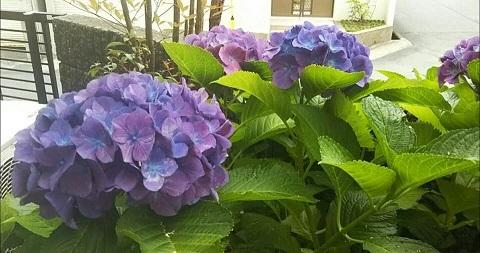 平成30年6月11日紫陽花2